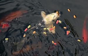Koi-fisk är vanliga i trädgårdsdammen