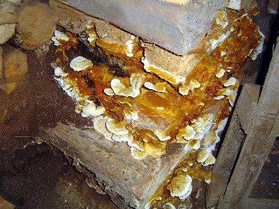 Massivt angrepp av hussvamp. Foto: Wikipedia enligt CC 3.0
